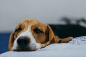 beagle separation anxiety