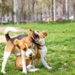 Beagle Care: How to Prevent Biting