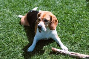 beagle personality and obedience training