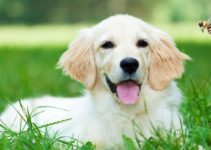 Bee Stings on Dogs – All you need to know