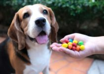Common Household Items Toxic to Beagles