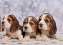 An Easy Beginner's Guide to Caring for Beagle Puppies