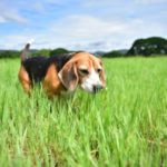 Interesting Facts about Beagle Dogs
