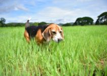 10 Interesting Facts about Beagles