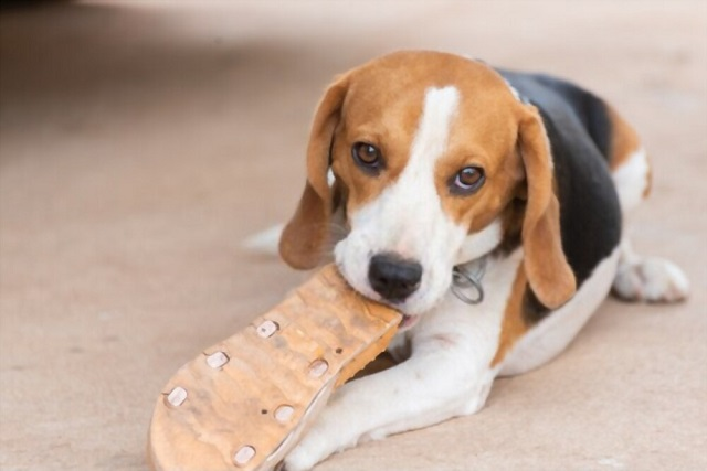 Stop Aggressive or Destructive Chewing in Beagles